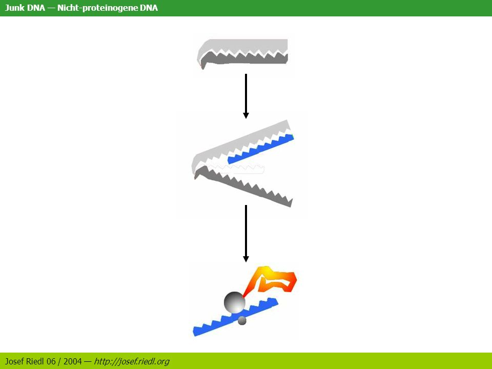 Junk DNA Nicht-proteinogene DNA Josef Riedl 06 / 2004 http://josef.riedl.org Volumenfunktion Erklärung: Größere Zelle => mehr Proteine Mehr Proteine => mehrAblesen Mehr Ablesen => mehr Enzyme Mehr Enzyme => mehr Platzbedarf Mehr Platzbedarf => Volumenschaffende sekundäre DNA Einführung Fragestellung Erklärungsansätze Aktive RNA: Ribozyme Digitale Erkennung Riboswitches Volumenfunktion Transposons LR-Enhancer Strukturfunktion Andere offene Fragen Schlussbetrachtung Referenzen