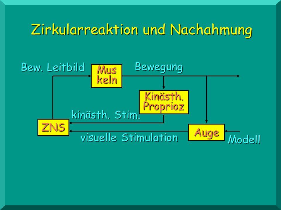 ZNS Mus keln Kinästh. Proprioz Auge Modell Bewegung kinästh. Stim. visuelle Stimulation Bew. Leitbild Zirkularreaktion und Nachahmung