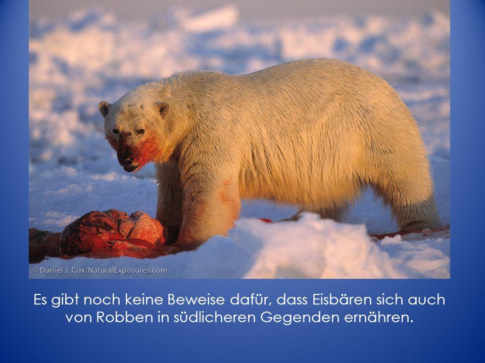 Es gibt noch keine Beweise dafür, dass Eisbären sich auch von Robben in südlicheren Gegenden ernähren.