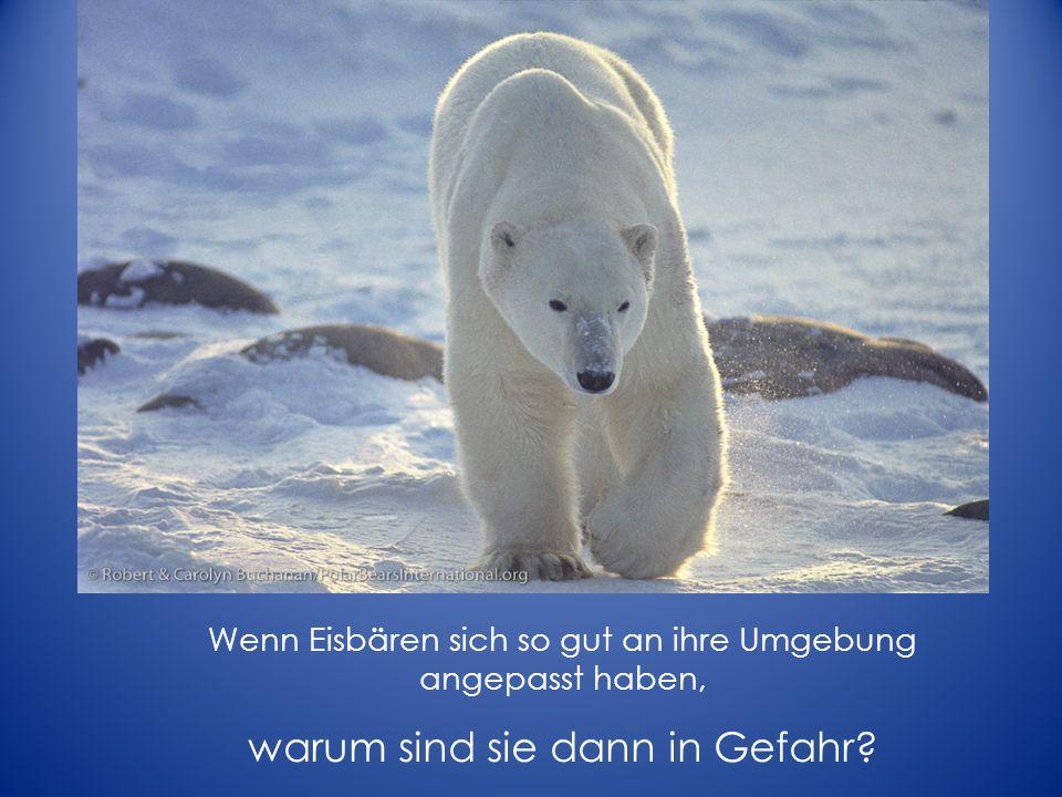 Wenn Eisbären sich so gut an ihre Umgebung angepasst haben, warum sind sie dann in Gefahr?