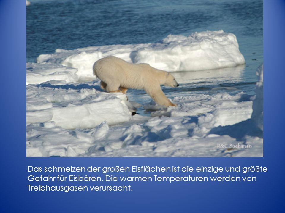 Das schmelzen der großen Eisflächen ist die einzige und größte Gefahr für Eisbären. Die warmen Temperaturen werden von Treibhausgasen verursacht.