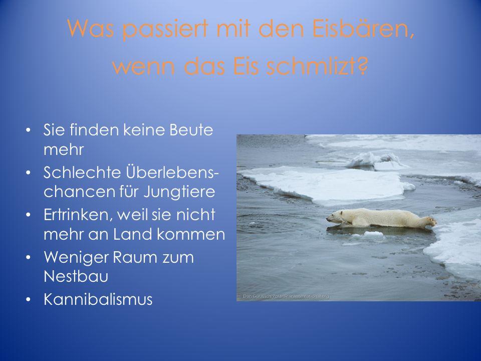 Was passiert mit den Eisbären, wenn das Eis schmlizt? Sie finden keine Beute mehr Schlechte Überlebens- chancen für Jungtiere Ertrinken, weil sie nich