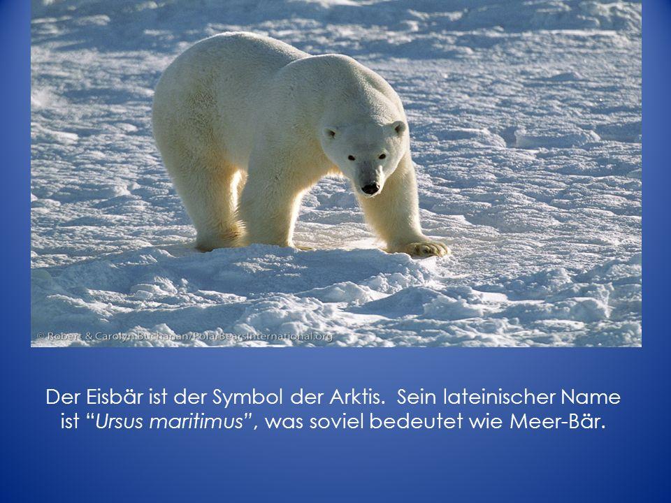 Der Eisbär ist der Symbol der Arktis. Sein lateinischer Name ist Ursus maritimus, was soviel bedeutet wie Meer-Bär.