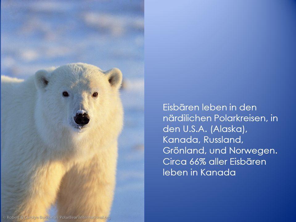 Eisbären leben in den närdilichen Polarkreisen, in den U.S.A. (Alaska), Kanada, Russland, Grönland, und Norwegen. Circa 66% aller Eisbären leben in Ka