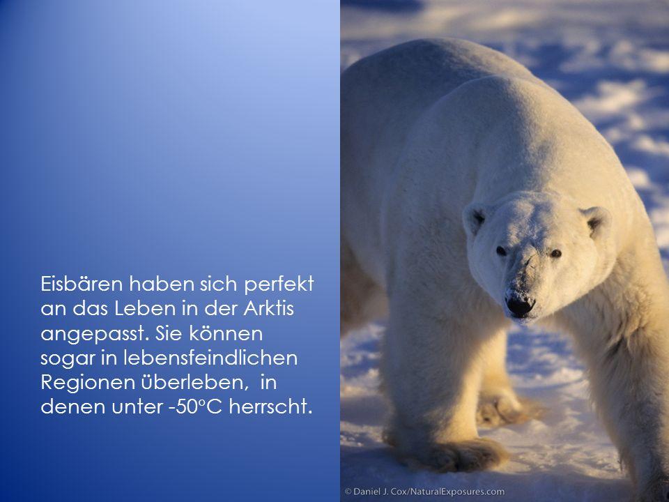 Eisbären haben sich perfekt an das Leben in der Arktis angepasst. Sie können sogar in lebensfeindlichen Regionen überleben, in denen unter -50 C herrs