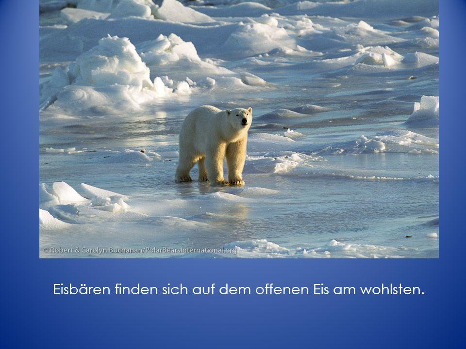 Was passiert mit den Eisbären, wenn das Eis schmlizt.