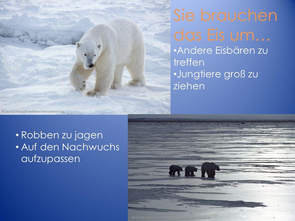 Sie brauchen das Eis um… Andere Eisbären zu treffen Jungtiere groß zu ziehen Robben zu jagen Auf den Nachwuchs aufzupassen