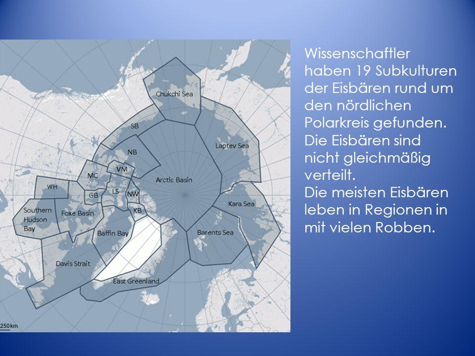 Wissenschaftler haben 19 Subkulturen der Eisbären rund um den nördlichen Polarkreis gefunden. Die Eisbären sind nicht gleichmäßig verteilt. Die meiste