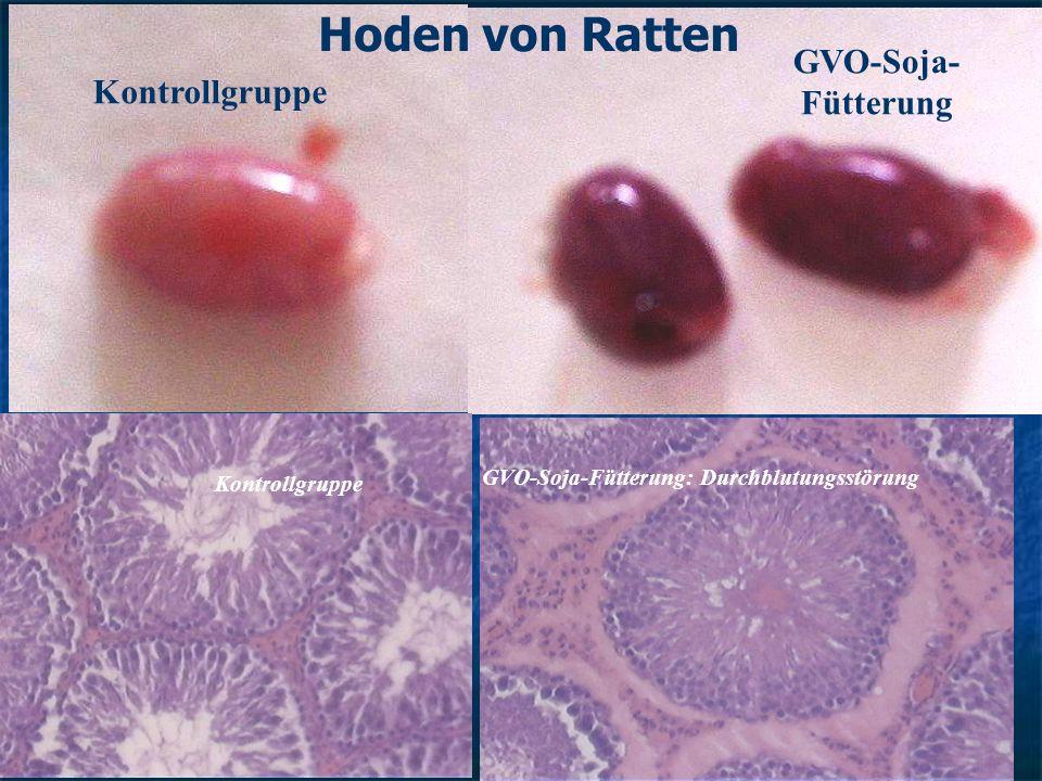 GVO-Soja- Fütterung Kontrollgruppe GVO-Soja-Fütterung: Durchblutungsstörung Kontrollgruppe Hoden von Ratten