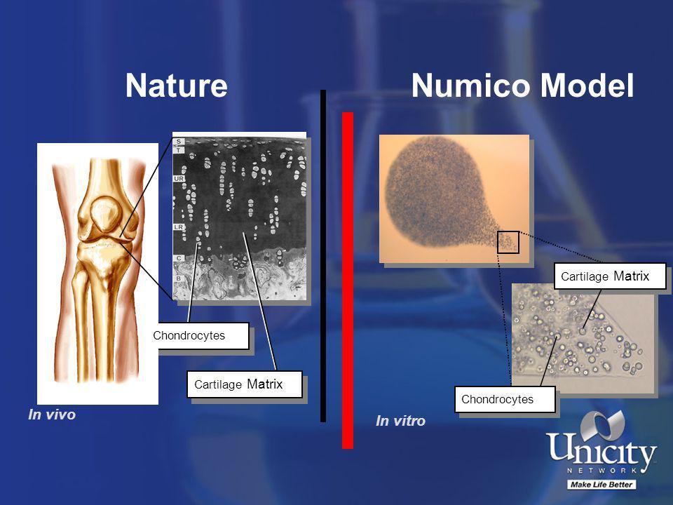 Chondrocytes Cartilage Matrix In vivo Chondrocytes Cartilage Matrix In vitro Chondrocytes Cartilage Matrix NatureNumico Model