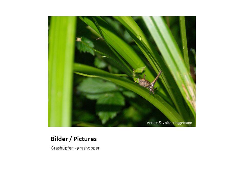 Bilder / Pictures Grashüpfer - grashopper Picture © Volker Heggemann