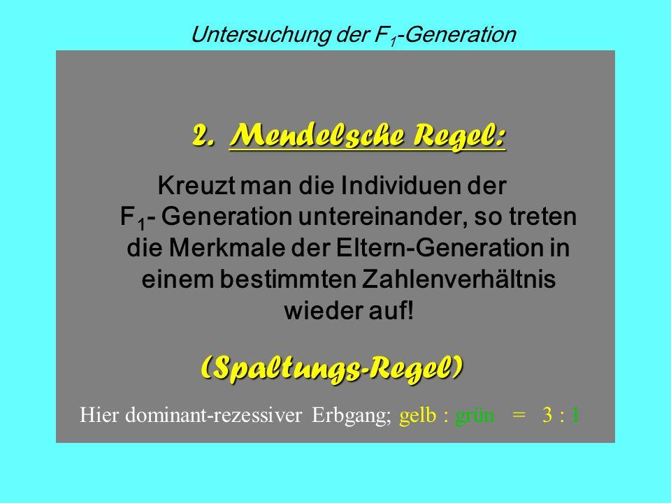 F1F1 F2F2 x Kz. 1. Filial- generation 2. Filial- generation Phänotyp Genotyp G g Meiose! Gg Gg GGGg gg mischerbig! 2. Mendelsche Regel: Kreuzt man die