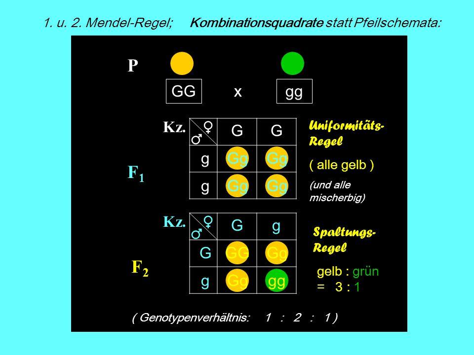 F1F1 F2F2 x Kz. Spaltungs- Regel gelb : grün = 3 : 1 1. u. 2. Mendel-Regel; Kombinationsquadrate statt Pfeilschemata: GGgg P Kz. ( Genotypenverhältnis