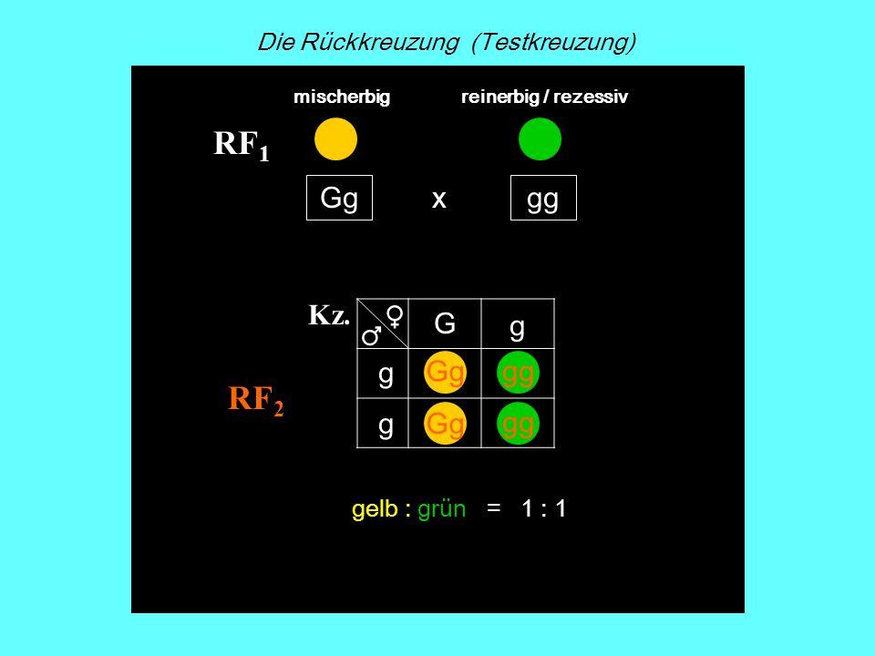 RF 2 x Kz. Gggg RF 1 G g g g Gggg Gg gg Die Rückkreuzung (Testkreuzung) mischerbigreinerbig / rezessiv gelb : grün = 1 : 1