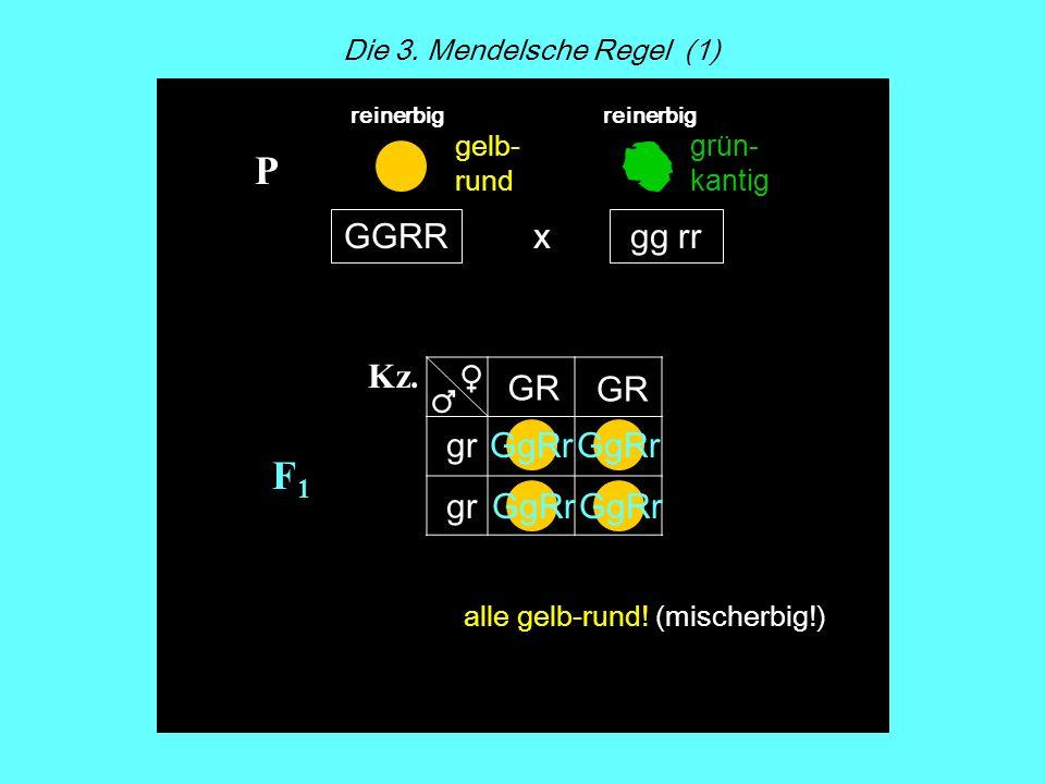 F1F1 x Kz. GGRRgg rr P GR gr GgRr Die 3. Mendelsche Regel (1) reinerbig gelb- rund grün- kantig GgRr alle gelb-rund! (mischerbig!)