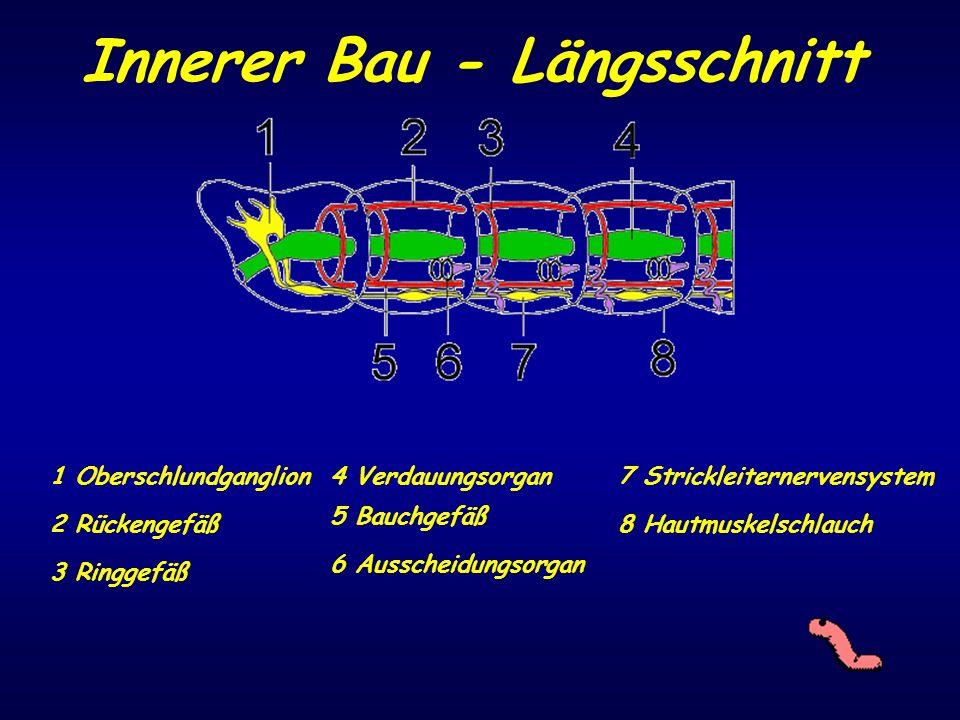 Innerer Bau - Längsschnitt 1 Oberschlundganglion 2 Rückengefäß 3 Ringgefäß 4 Verdauungsorgan 5 Bauchgefäß 6 Ausscheidungsorgan 7 Strickleiternervensys
