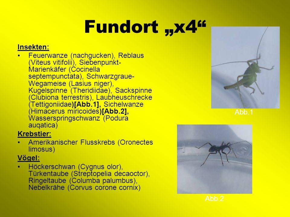Fundort x4 Insekten: Feuerwanze (nachgucken), Reblaus (Viteus vitifolii), Siebenpunkt- Marienkäfer (Cocinella septempunctata), Schwarzgraue- Wegameise