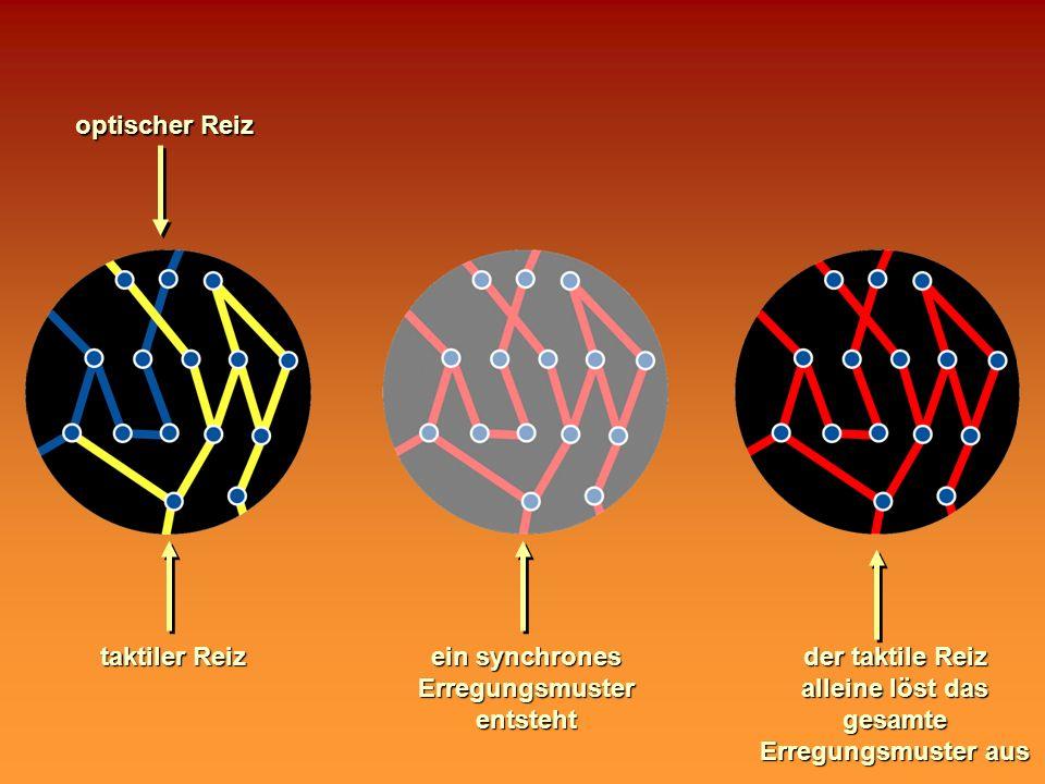 optischer Reiz taktiler Reiz ein synchrones Erregungsmuster entsteht der taktile Reiz alleine löst das gesamte Erregungsmuster aus