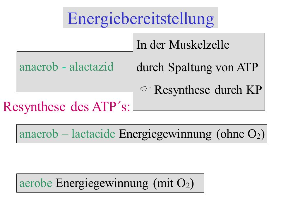 Energiebereitstellung anaerob - alactazid In der Muskelzelle durch Spaltung von ATP Resynthese durch KP Resynthese des ATP´s: anaerob – lactacide Ener