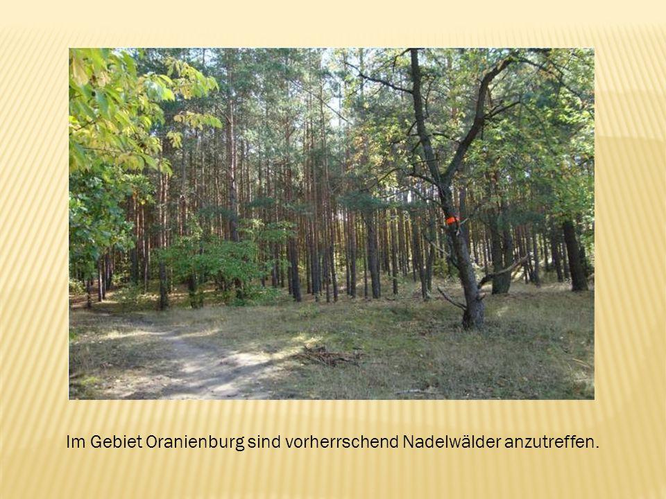 Im Gebiet Oranienburg sind vorherrschend Nadelwälder anzutreffen.