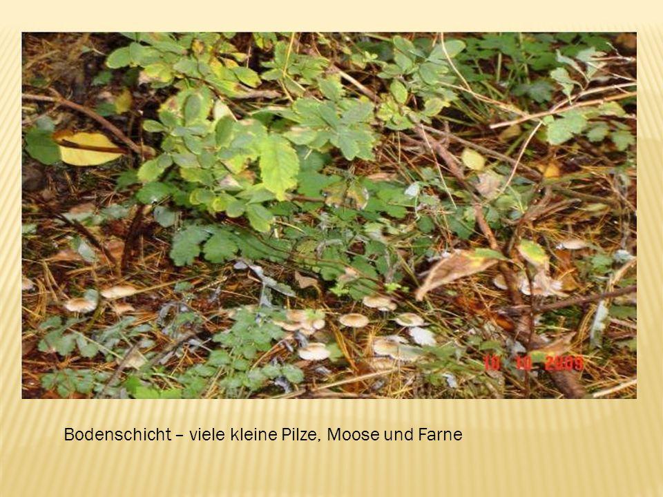 Bodenschicht – viele kleine Pilze, Moose und Farne