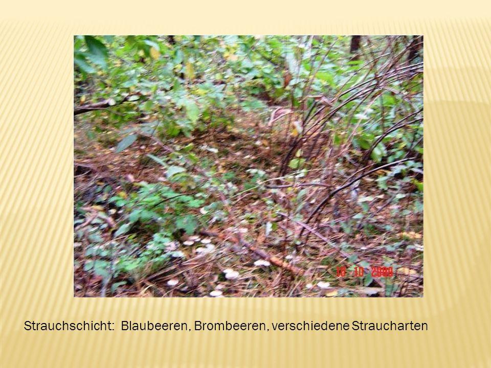 Strauchschicht: Blaubeeren, Brombeeren, verschiedene Straucharten