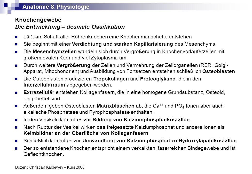 Anatomie & Physiologie Dozent: Christian Kaldewey – Kurs 2006 Knochengewebe Die Entwicklung – chondrale Ossifikation In den meißten Fällen ist ein Modell aus hyalinem Knorpel der Vorläufer eines Knochens.