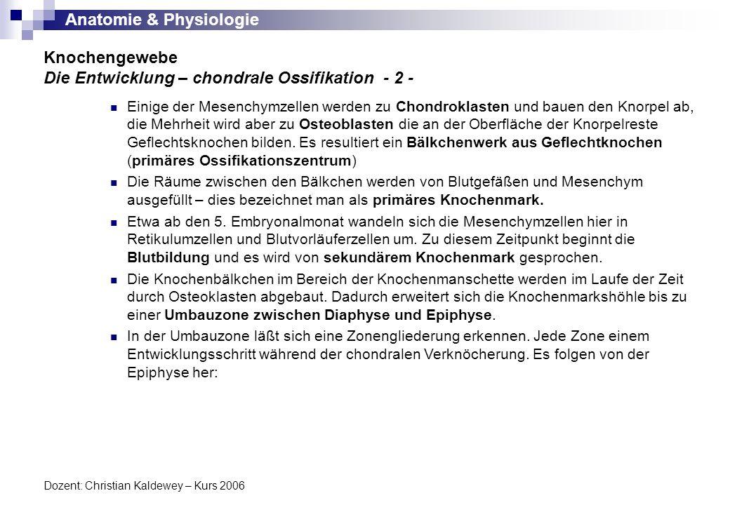 Anatomie & Physiologie Dozent: Christian Kaldewey – Kurs 2006 Knochengewebe Die Entwicklung – chondrale Ossifikation - 3 - Umbauzone In der Umbauzone läßt sich eine Zonengliederung erkennen.