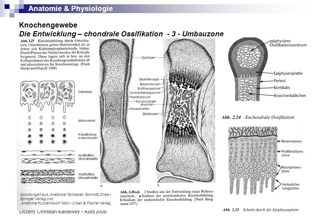 Anatomie & Physiologie Dozent: Christian Kaldewey – Kurs 2006 Knochengewebe Die Entwicklung – chondrale Ossifikation - 3 - Umbauzone Abbildungen aus A