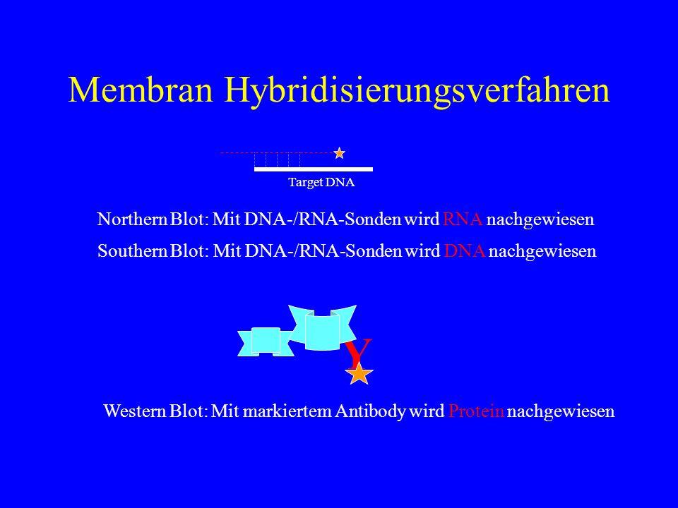 Membran Hybridisierungsverfahren Target DNA Northern Blot: Mit DNA-/RNA-Sonden wird RNA nachgewiesen Southern Blot: Mit DNA-/RNA-Sonden wird DNA nachg