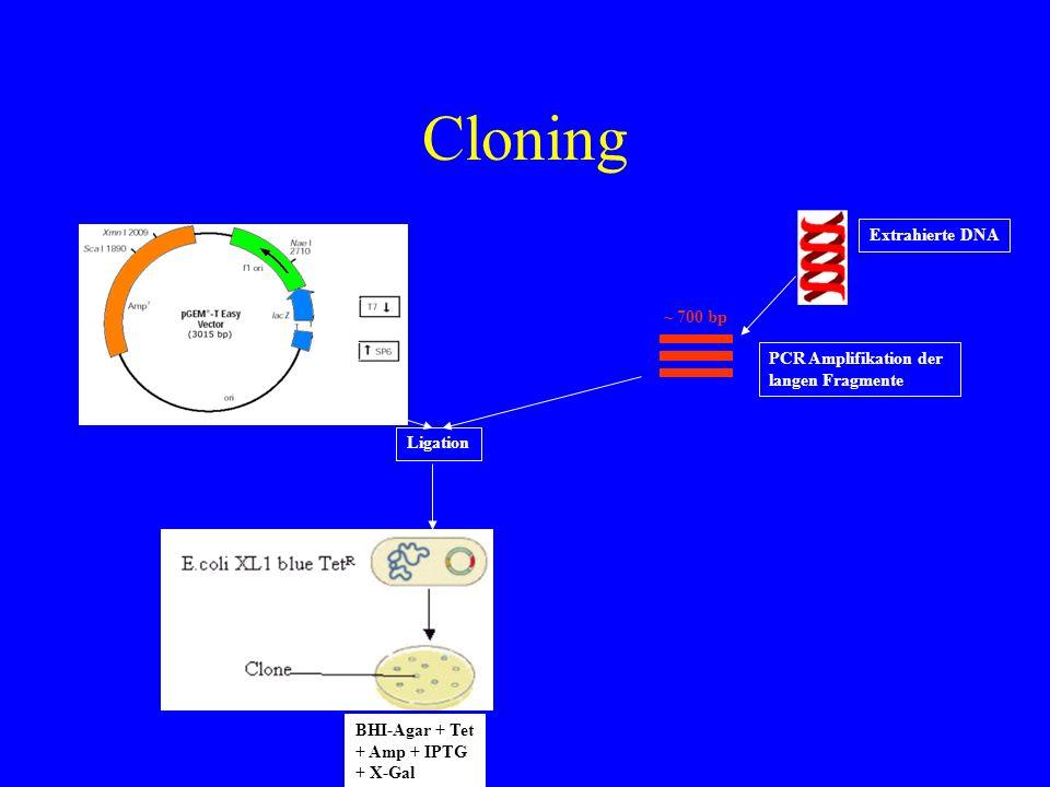 Cloning BHI-Agar + Tet + Amp + IPTG + X-Gal ~ 700 bp Extrahierte DNA PCR Amplifikation der langen Fragmente Ligation