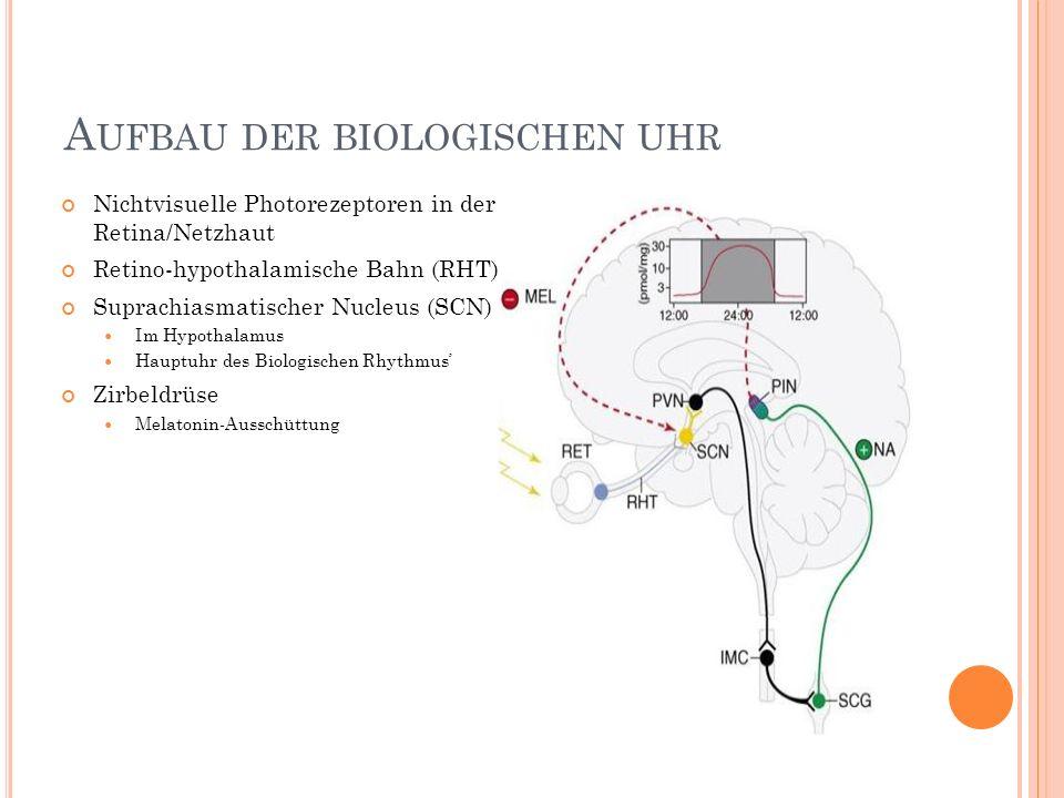 A UFBAU DER BIOLOGISCHEN UHR Nichtvisuelle Photorezeptoren in der Retina/Netzhaut Retino-hypothalamische Bahn (RHT) Suprachiasmatischer Nucleus (SCN)