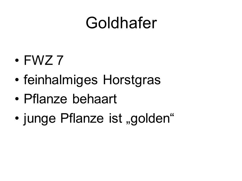 Goldhafer FWZ 7 feinhalmiges Horstgras Pflanze behaart junge Pflanze ist golden