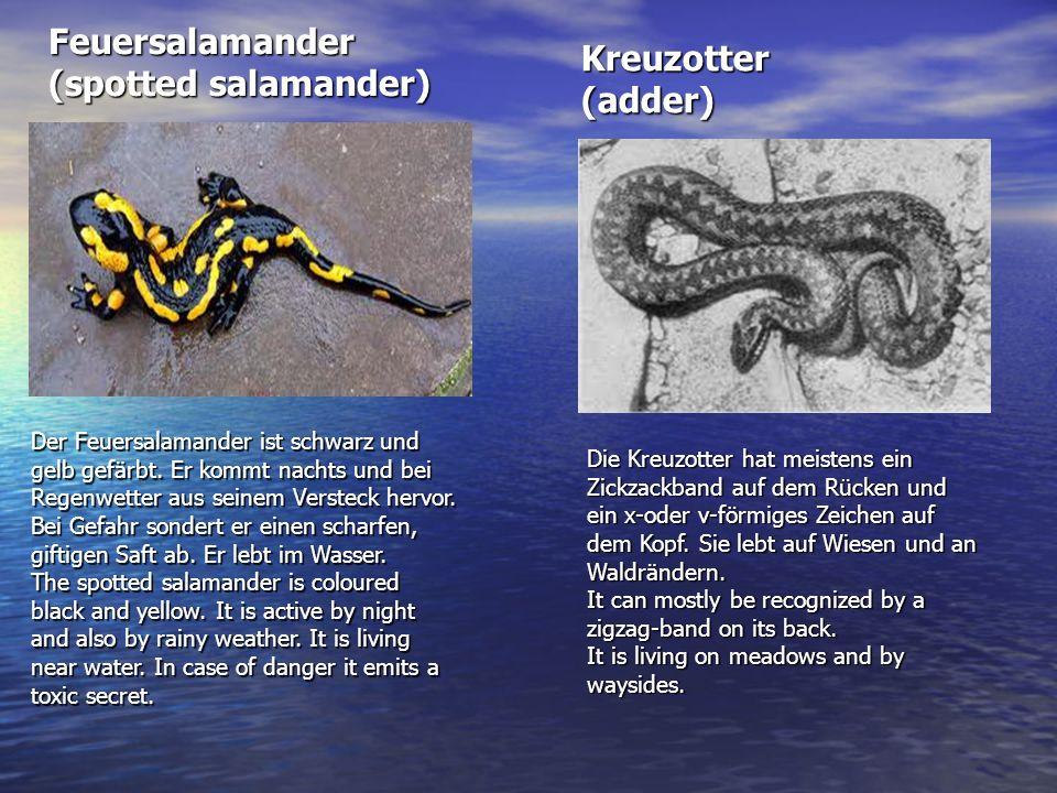 Feuersalamander (spotted salamander) Der Feuersalamander ist schwarz und gelb gefärbt. Er kommt nachts und bei Regenwetter aus seinem Versteck hervor.
