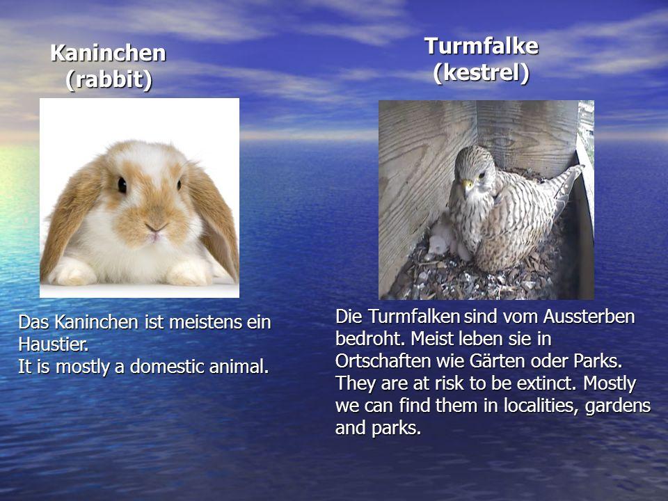 Kaninchen Kaninchen(rabbit) Das Kaninchen ist meistens ein Haustier. It is mostly a domestic animal. Die Turmfalken sind vom Aussterben bedroht. Meist