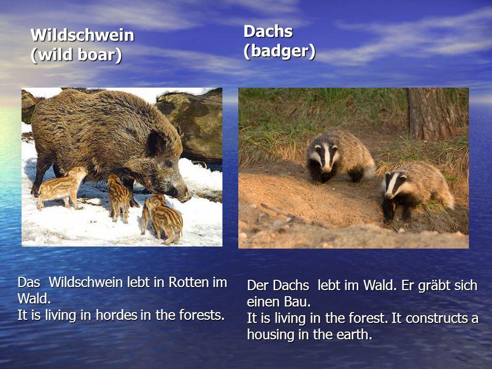 Wildschwein (wild boar) Das Wildschwein lebt in Rotten im Wald. It is living in hordes in the forests. Dachs (badger) Der Dachs lebt im Wald. Er gräbt