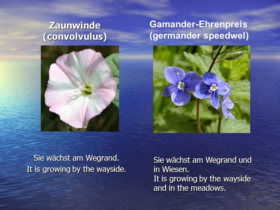 Zaunwinde (convolvulus) Sie wächst am Wegrand. It is growing by the wayside. Gamander-Ehrenpreis (germander speedwel) Sie wächst am Wegrand und in Wie
