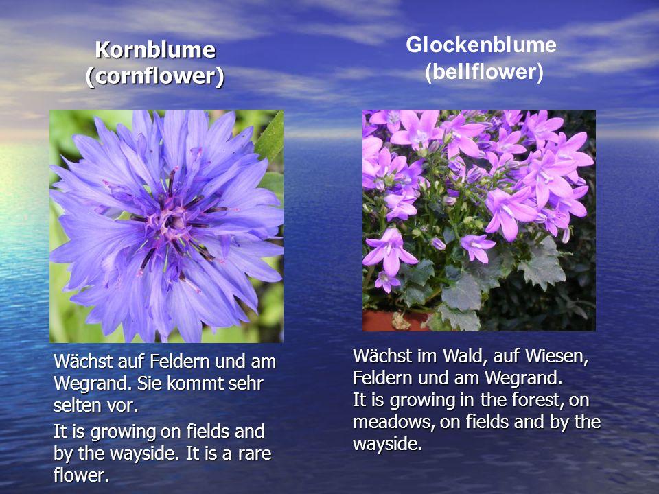 Kornblume (cornflower) Wächst auf Feldern und am Wegrand. Sie kommt sehr selten vor. It is growing on fields and by the wayside. It is a rare flower.