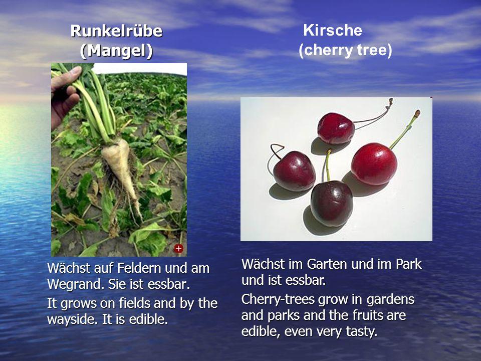 Runkelrübe (Mangel) Runkelrübe (Mangel) Wächst auf Feldern und am Wegrand. Sie ist essbar. It grows on fields and by the wayside. It is edible. Kirsch