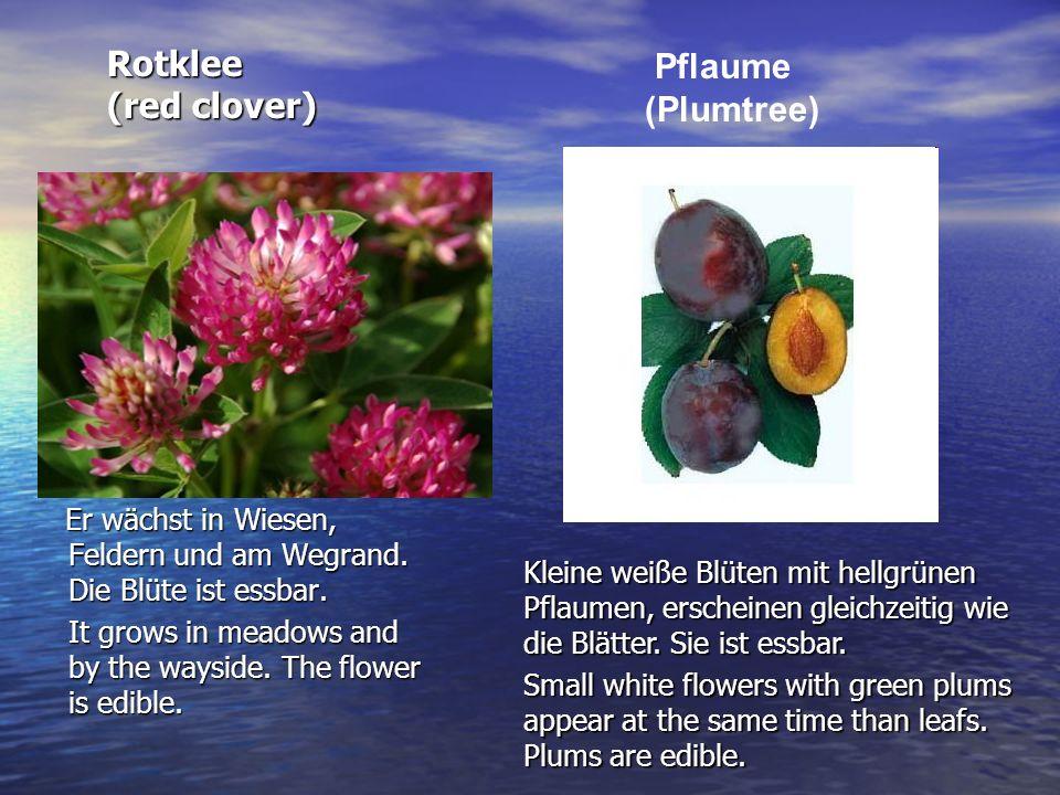 Rotklee (red clover) Er wächst in Wiesen, Feldern und am Wegrand. Die Blüte ist essbar. Er wächst in Wiesen, Feldern und am Wegrand. Die Blüte ist ess
