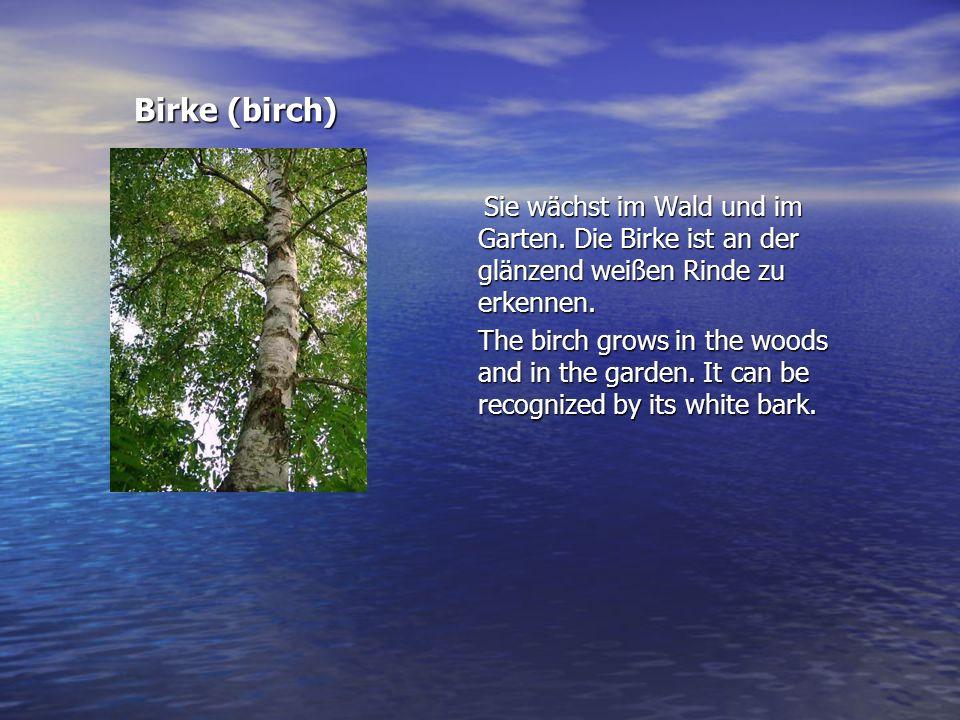 Birke (birch) Birke (birch) Sie wächst im Wald und im Garten. Die Birke ist an der glänzend weißen Rinde zu erkennen. Sie wächst im Wald und im Garten