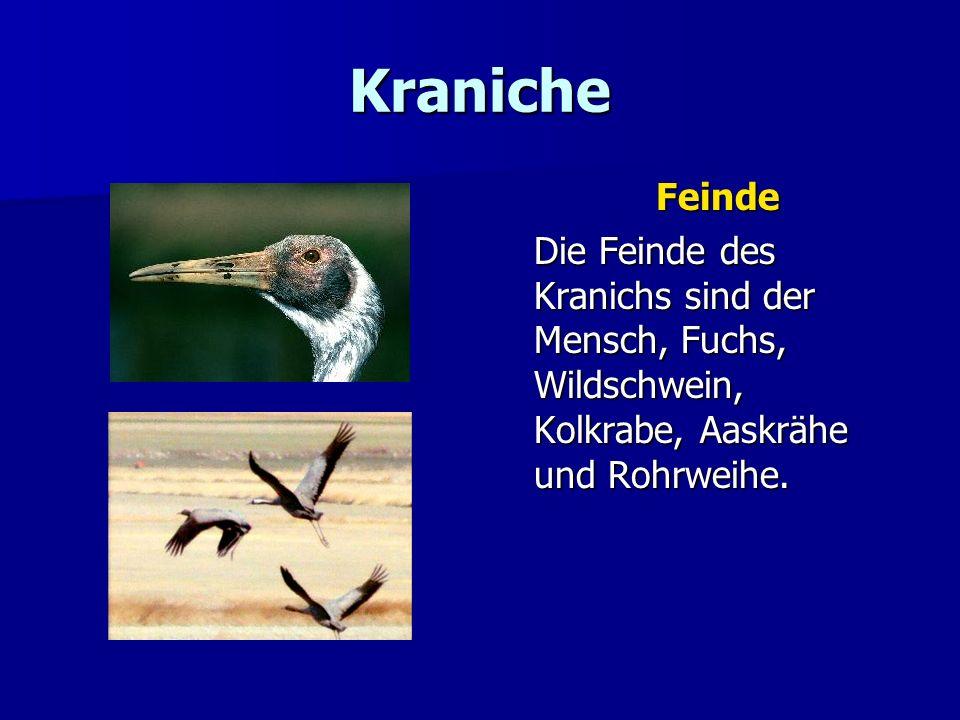 Kraniche Feinde Die Feinde des Kranichs sind der Mensch, Fuchs, Wildschwein, Kolkrabe, Aaskrähe und Rohrweihe.