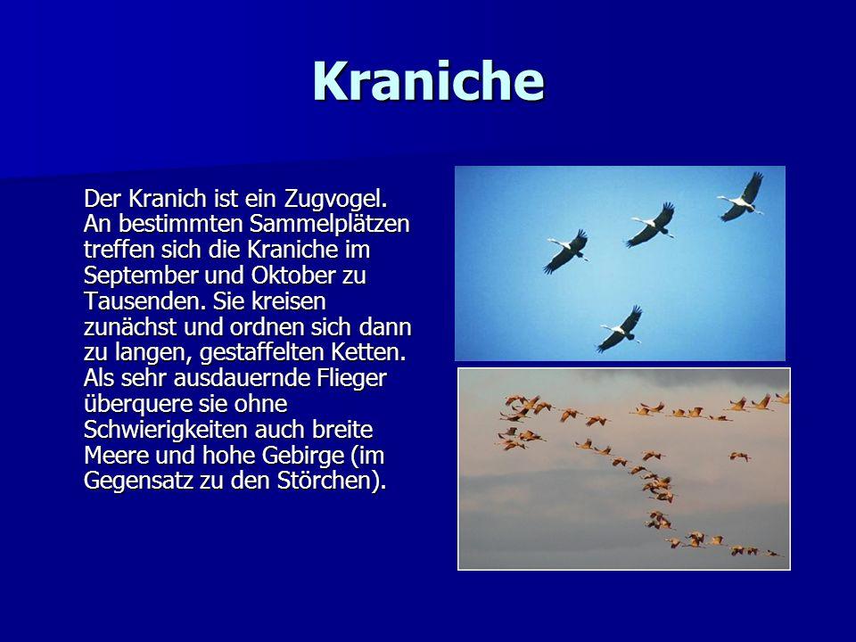 Kraniche Der Kranich ist ein Zugvogel. An bestimmten Sammelplätzen treffen sich die Kraniche im September und Oktober zu Tausenden. Sie kreisen zunäch