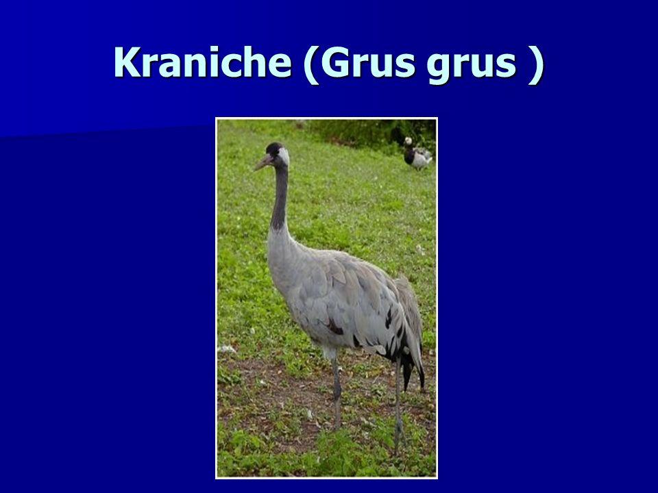 Kraniche (Grus grus )