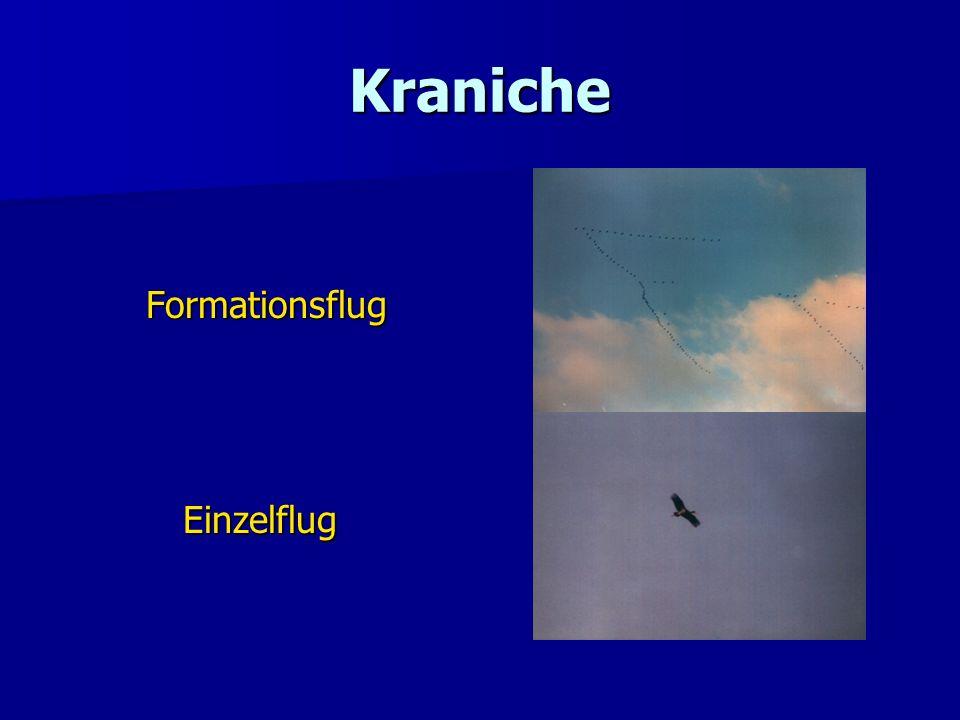 Kraniche Formationsflug FormationsflugEinzelflug