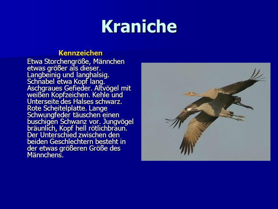 Kraniche Kennzeichen Etwa Storchengröße, Männchen etwas größer als dieser. Langbeinig und langhalsig. Schnabel etwa Kopf lang. Aschgraues Gefieder. Al