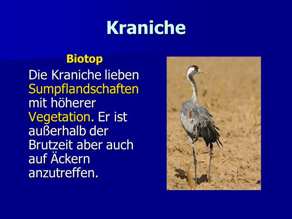 Kraniche Biotop Die Kraniche lieben Sumpflandschaften mit höherer Vegetation. Er ist außerhalb der Brutzeit aber auch auf Äckern anzutreffen.