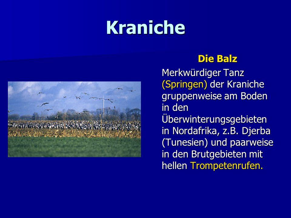 Kraniche Die Balz Merkwürdiger Tanz (Springen) der Kraniche gruppenweise am Boden in den Überwinterungsgebieten in Nordafrika, z.B. Djerba (Tunesien)