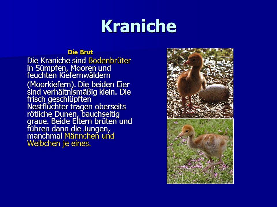 Kraniche Die Brut Die Kraniche sind Bodenbrüter in Sümpfen, Mooren und feuchten Kiefernwäldern (Moorkiefern). Die beiden Eier sind verhältnismäßig kle