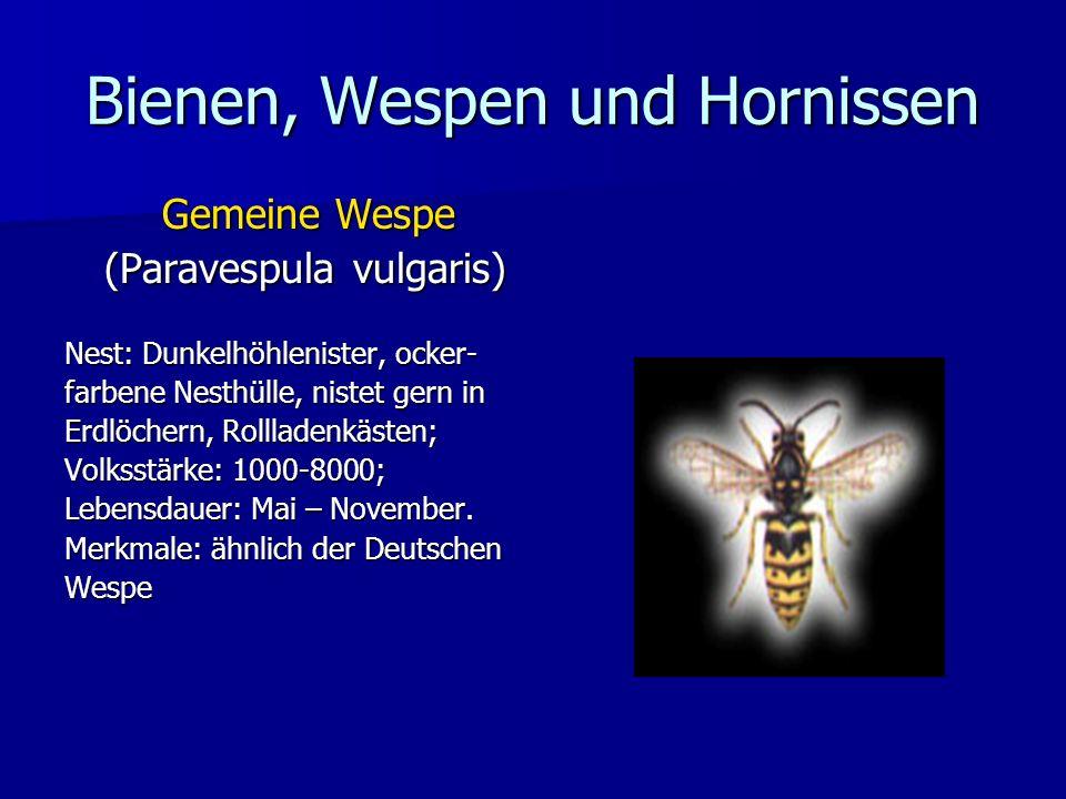 Bienen, Wespen und Hornissen Gemeine Wespe (Paravespula vulgaris) Nest: Dunkelhöhlenister, ocker- farbene Nesthülle, nistet gern in Erdlöchern, Rollla